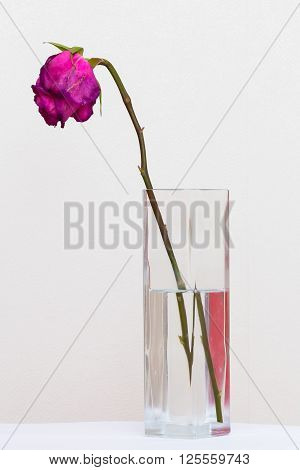 Red sluggish rose in a glass vase with water