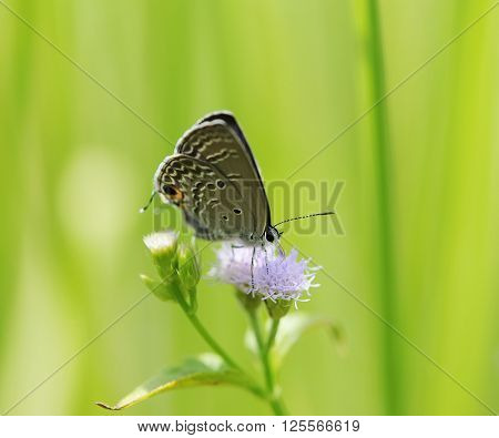 Common Blue (Polyommatus icarus) butterfly in natural habitat