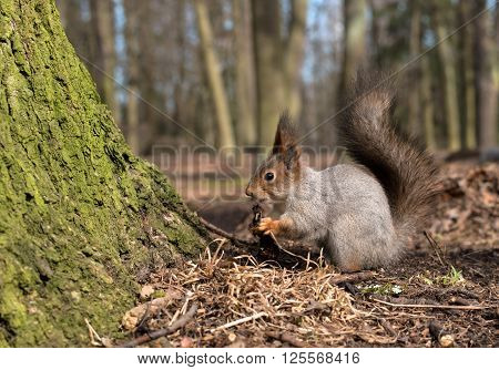 Squirrel with bushy tail on the earth. Close-up. Photographed in spring Gatchina park near the palace of Emperor Paul I.