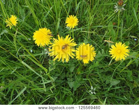 Common Dandelion Flower With Bee