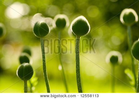 Ripening green heads of a poppy