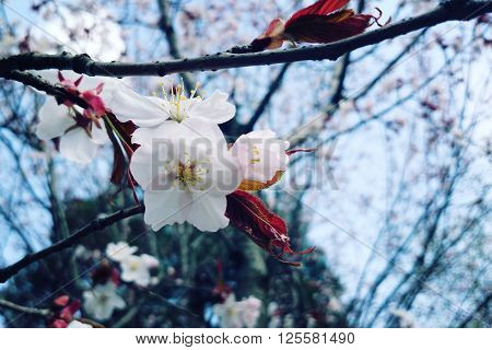 Blossoming Cherry Flowers In Spring. Aged Photo.