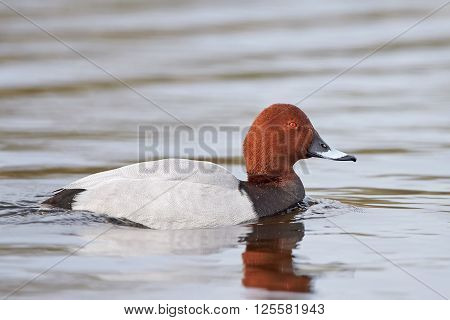 Common pochard swimming in its natural habitat