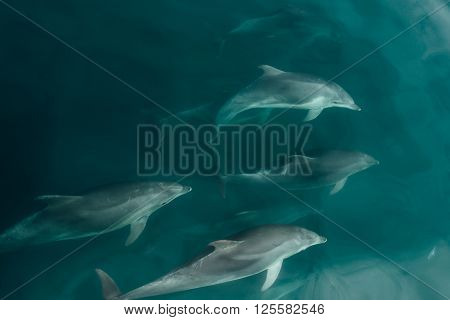 Pod of Fast Dolphins in the Wildlife Sea Mammals
