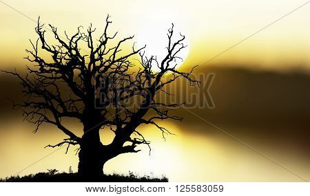 ancient bare oak tree on yellow and orange sunset