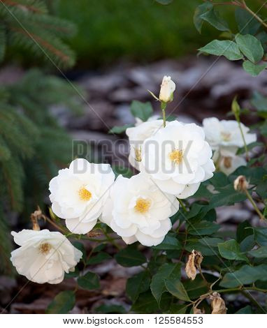 bush of white roses romantic place in gerden ** Note: Soft Focus at 100%, best at smaller sizes