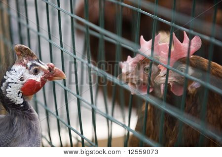 Guinea fowl examines two hens in next birdcage