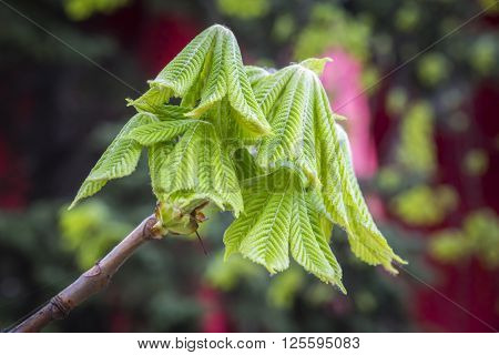 Branch Of A Chestnut Tree With Sprouting Leaves