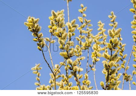 Flowering Goat Willow (salix Caprea) In Spring