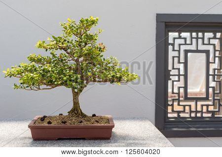 Chinese Boxwood Bonsai
