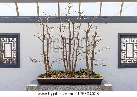 Group Of Ginkgo Biloba Bonsai