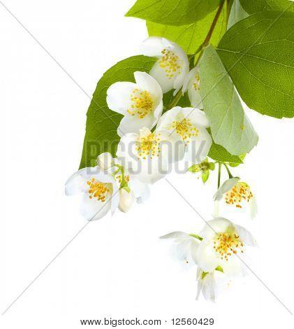 Fresh Jasmine