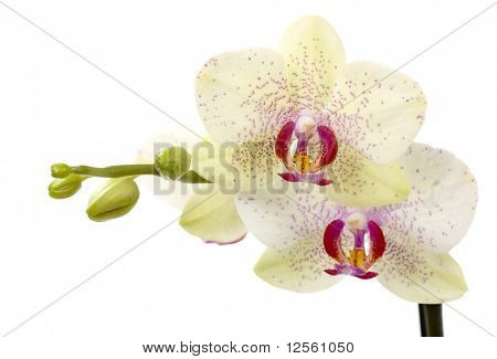 Beautiful Orchids isolated on white
