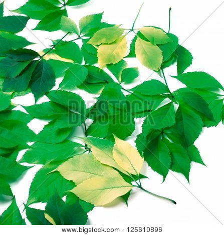 Scattered Leaves On White Background