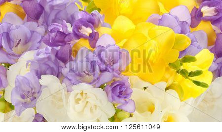 Beautiful abstract background of freesias flowers