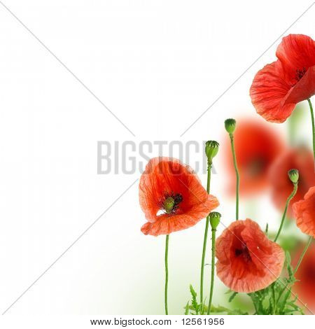 Beautiful Poppies Border
