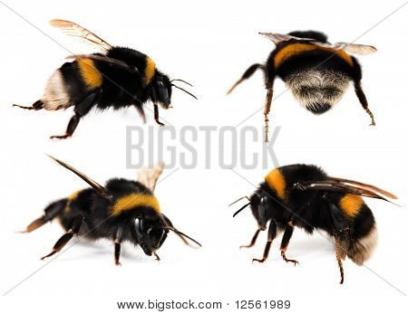Bumblebees Collection poster