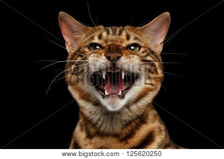Closeup Portrait of Hissing Bengal Male Cat on Black Isolated Background Looking in Camera Front view