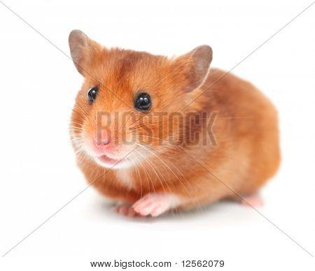 Hamster over white