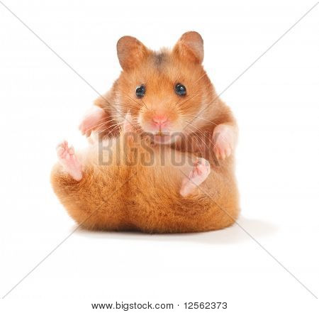 Funny Hamster poster