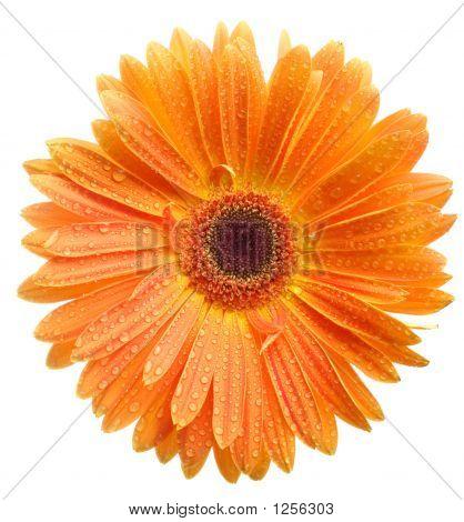 Orange Daisy Petails