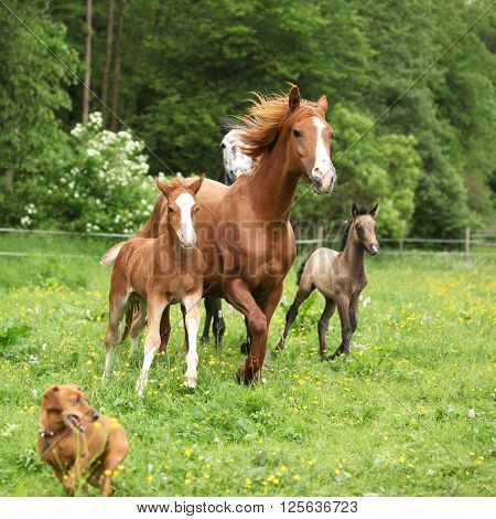 Beautiful Mare And Foal Running With Their Herd