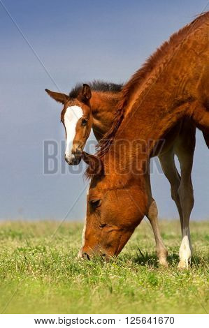 Colt with mare on pasture at summer