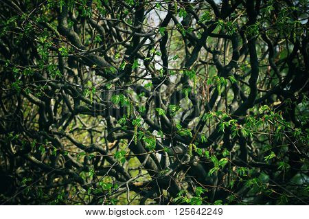 Impenetrable forest branches with young leaves early spring. Stylized picture for the background.