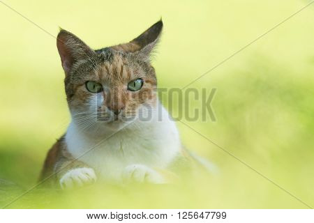 Tri colored house cat staring directly at the viewer