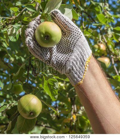 Man's hand collects from the tree apple harvest in garden