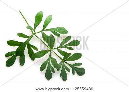 Rue branch isolated on white. Lithuanian traditional plant, a symbol of virginity