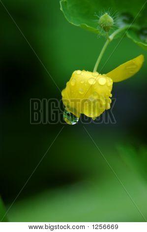Raindrop On Celandine Bud