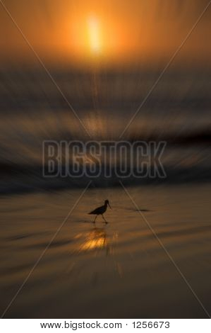 Mabled Godwit On Beach In Zoomed Sunset