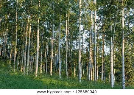 Grove Of Aspen Trees At Sunset In Telluride