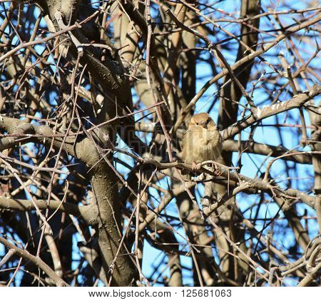 Little sparrow sitting on a branch. Densely intertwined branches