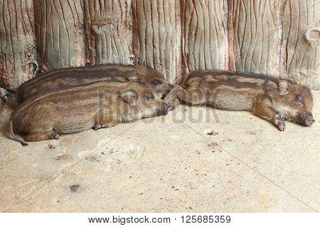 wild boar baby is sleeping on cement floor at Thailand