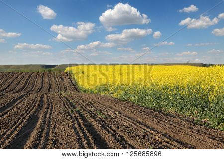 Oil rape landscape with blossoming canola plants in field early spring