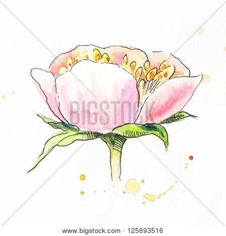 Pink peony in watercolor. Side view of the head of the pion. Sketch of pink peony