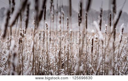 Fresh Snow On Cattails