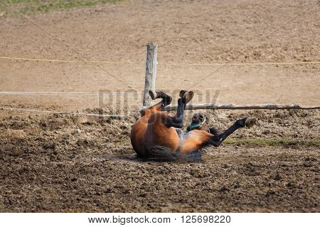 Horse lying on the meadow at spring time