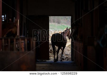 The horse going out of the stables under the supervision of the groom