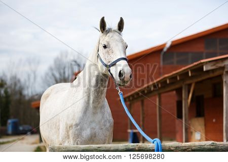 Tethered horse near the stable at spring time