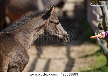 The foal sniffs the hand holding a carrot