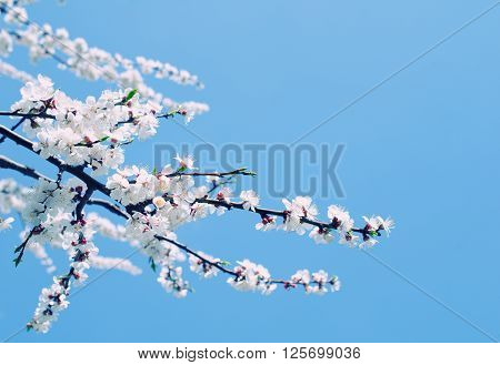 Branch with beautiful apricot flowers against the background of a blue sky in the spring as a flower spring background (selective focus on the flowers with copy space on the right for your text) retro style