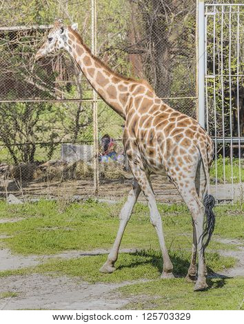 Giraffe walking in the paddock . April 2016