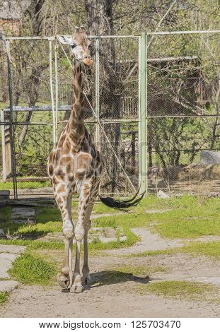 Giraffe walking in the paddock .April 2016
