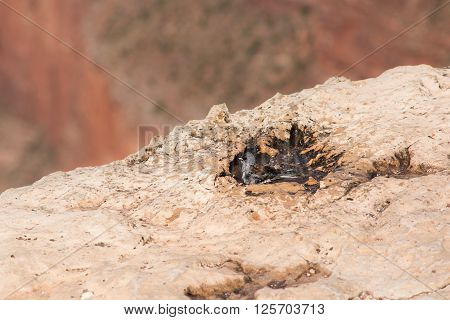 Sparrow taking a bath with the Grand Canyon in Arizona in the background