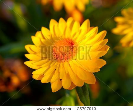 Xerochrysum bracteatum commonly known as the golden everlasting or strawflower