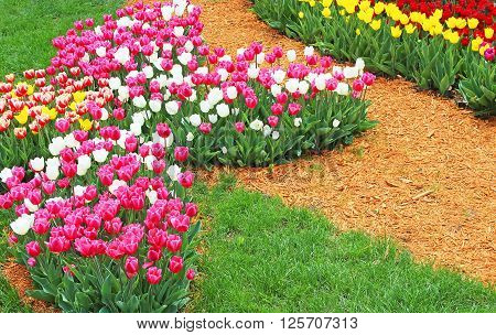 Bright colourful tulips in the spring garden