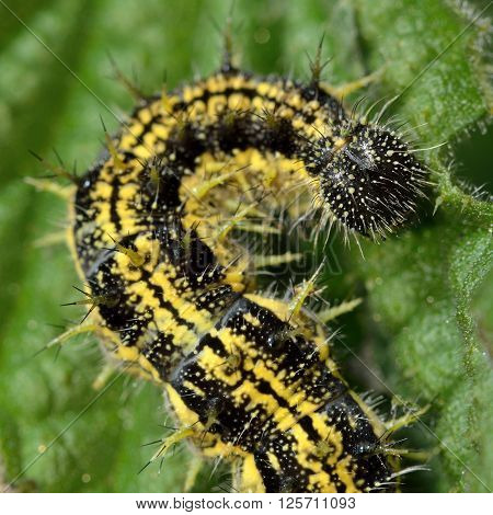 Small tortoiseshell (Aglais urticae) caterpillar. Mature yellow and black spiny larva of butterfly in the family Nymphalidae